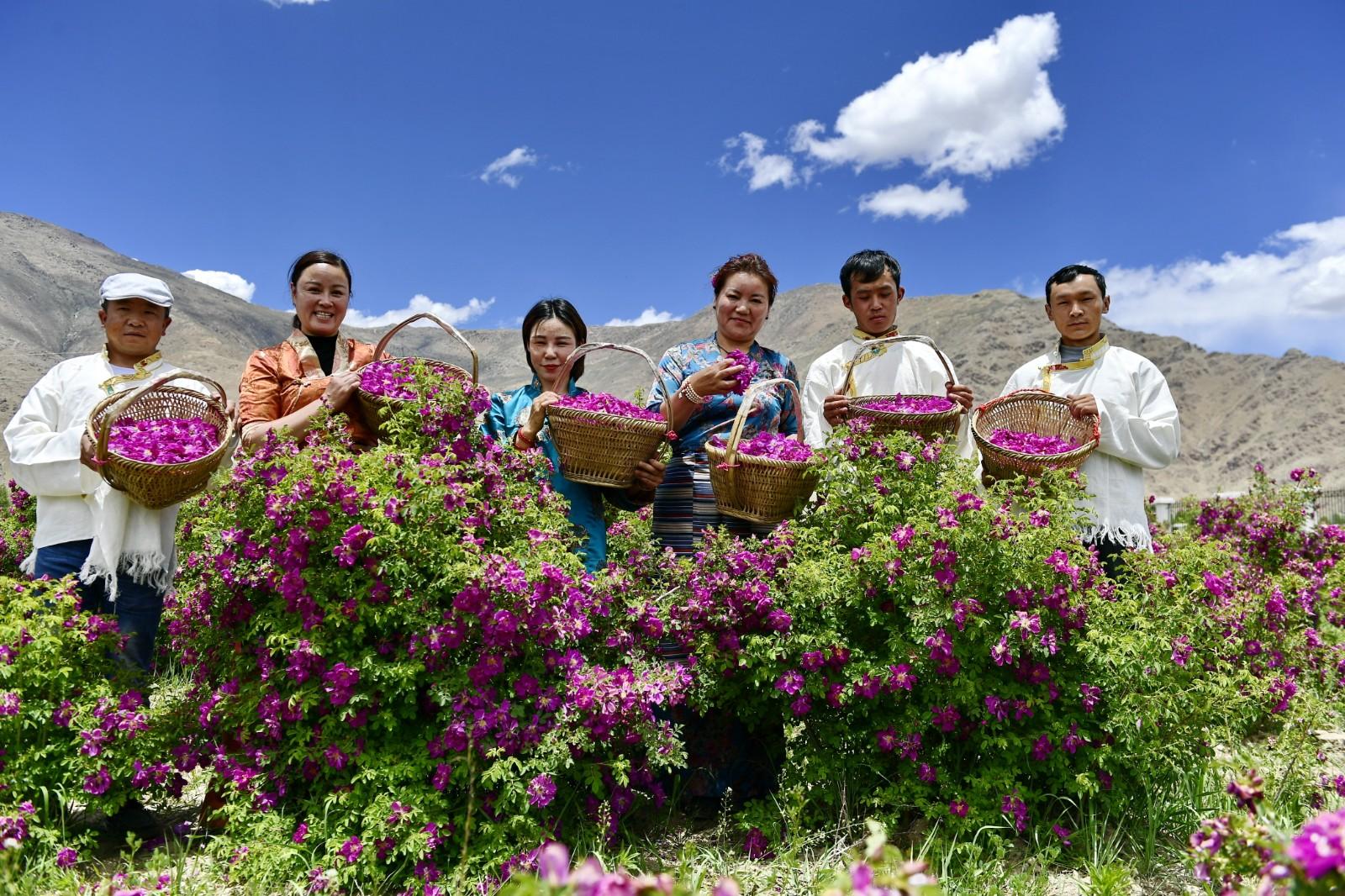 高原玫瑰芬芳四溢迎宾客     在拉萨市达孜区现代农业产业园,西藏玫瑰生物科技发展有限公司的员工和游客展示采摘的玫瑰花(6月9日摄)。     近日,在西藏拉萨市达孜区现代农业产业园,由西藏玫瑰生物科技发展有限公司种植的200亩玫瑰盛开,吸引众多游客前来观赏采摘。     新华社记者 张汝锋 摄