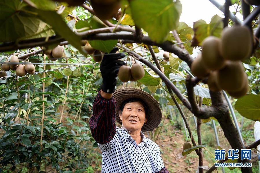 """(经济)(2)安徽:""""猕猴桃经济""""助增收"""